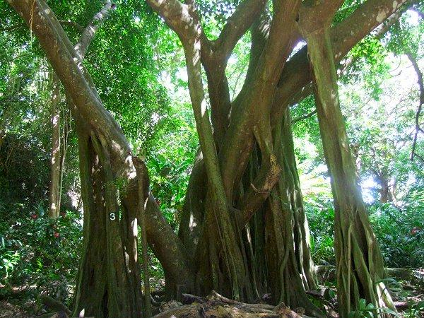 Bearded Fig Tree at Welchman Hall Gully, Barbados