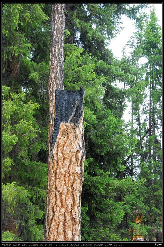 被雷劈的树?