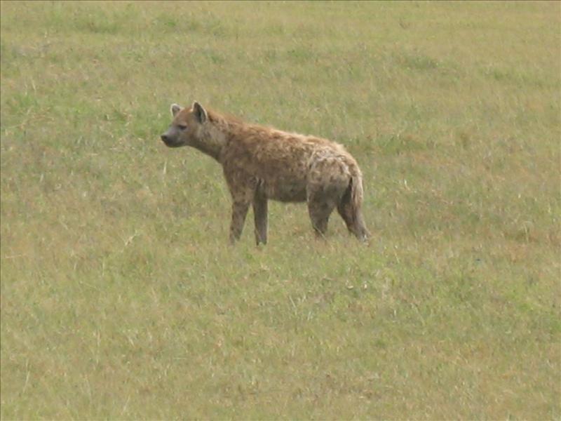 hyena•Ngorongoro