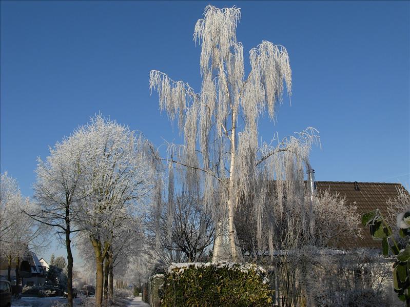 snowy tree NL