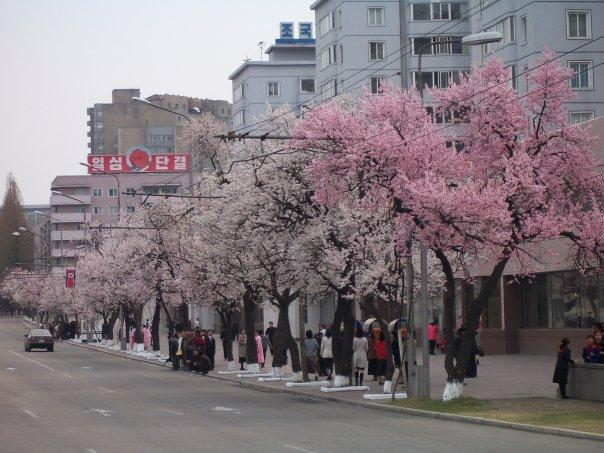 BLOSSOM IN PYONGYANG