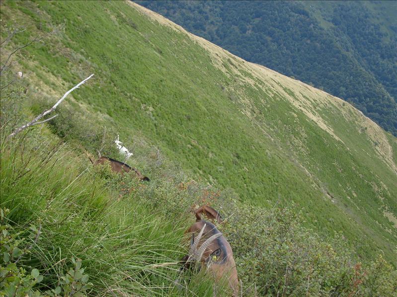 capre•Monte Lema•2009