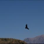 Condors in Cruz del Condor
