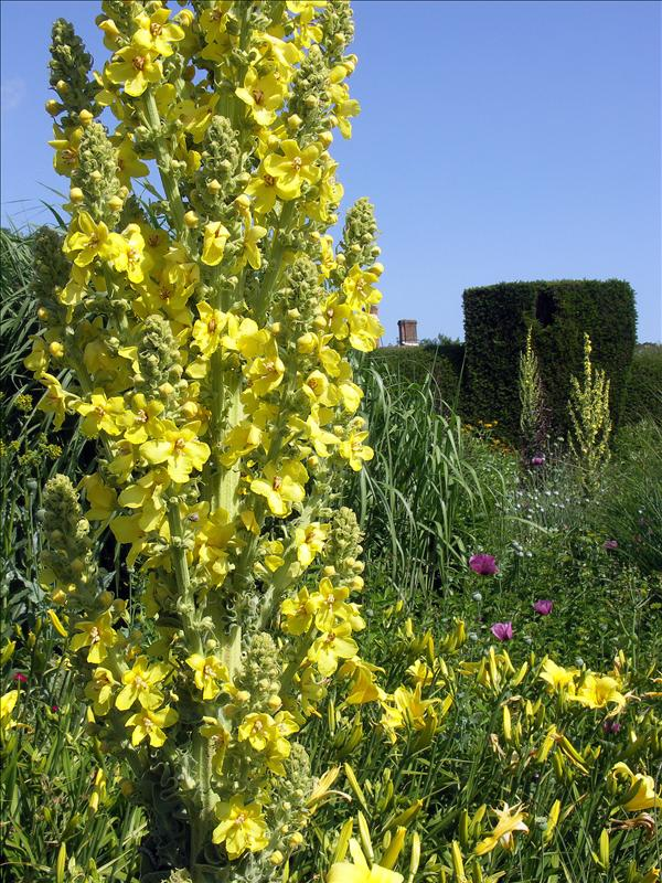 Mullein, Day Lilies