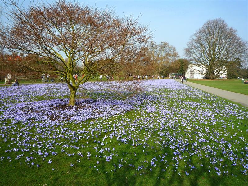 A carpet of chionodoxa