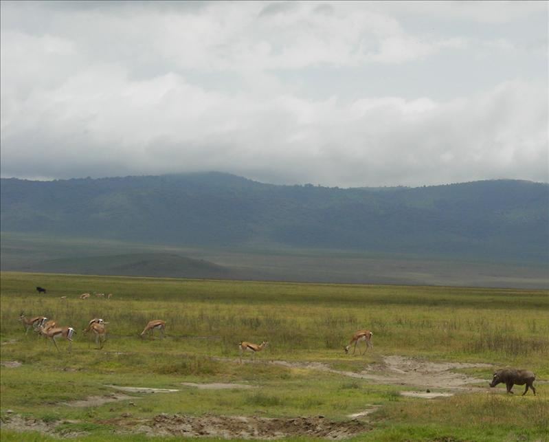 pumba•gazelles•Ngorongoro