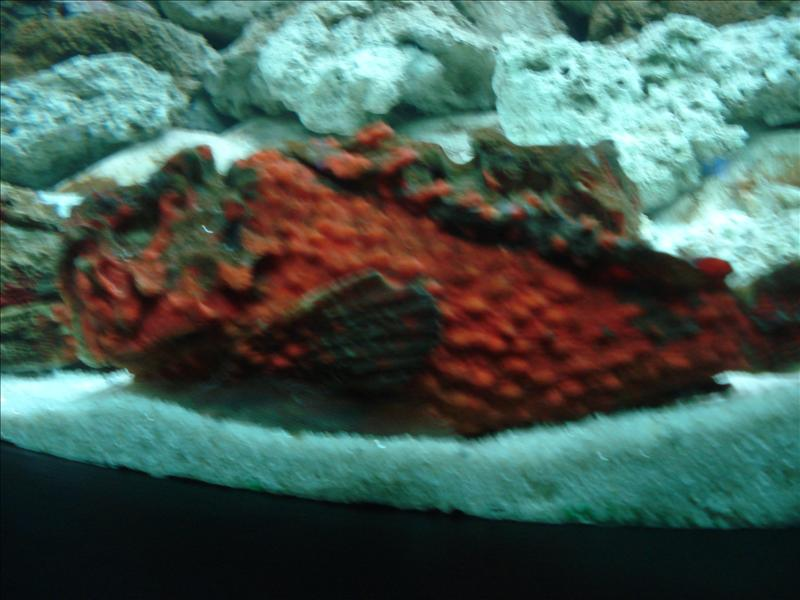 close up of the stonefish
