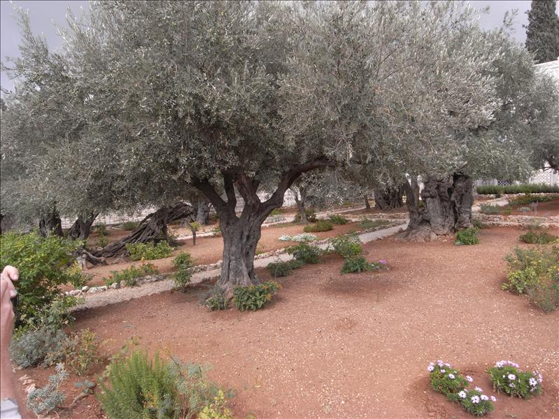 garden of gethsemane where jesus is believed to have been arrested. some of the olives trees are over 2000 years old.