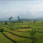 Lush Padi fields.