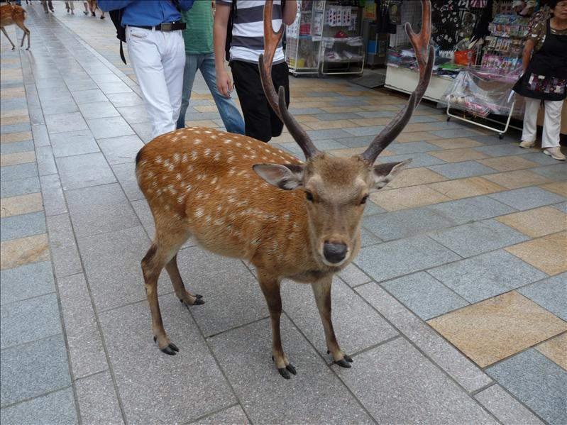 deer at .. temple (nara)