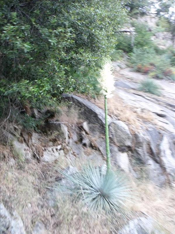 Giant Yucca