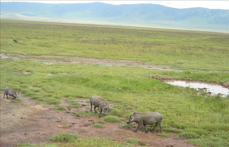 pumba•Ngorongoro