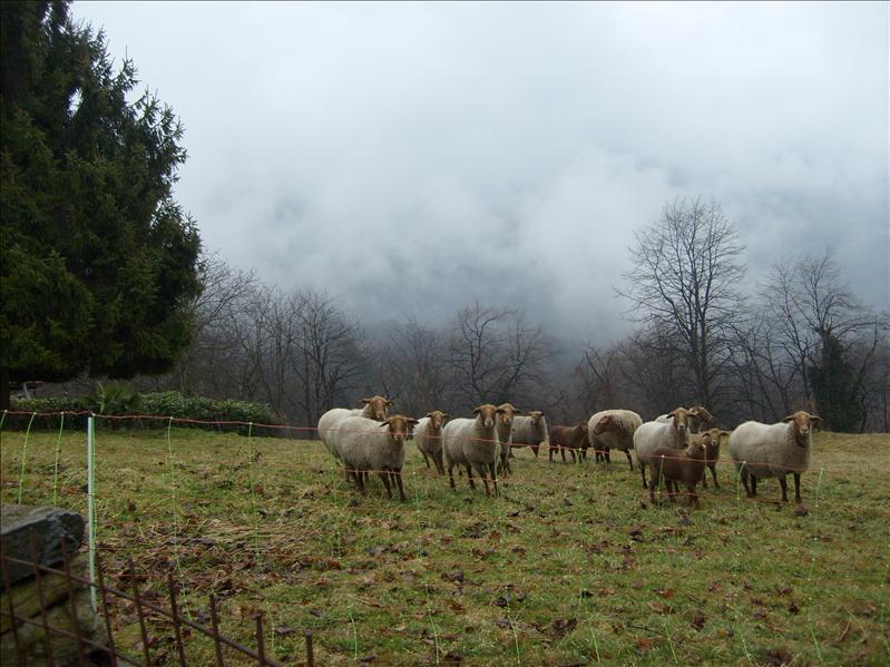 sheep•Malcantone•2009
