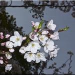 Cherry Blossoms in Oji Zoo, Kobe