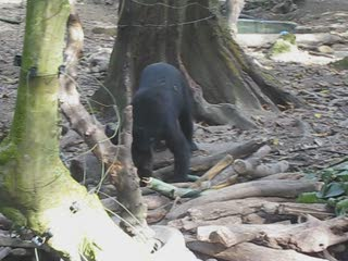 Black bear at Tat Khang Si Park, Bear rescue centre