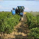 Back in Roujan the mechanical picker shakes the grapes off the vine.