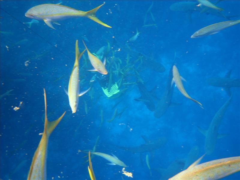 Sharks feast on sashimi