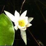 Hasu no ike (Lotus Lake)