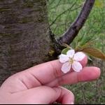 是櫻花嗎?
