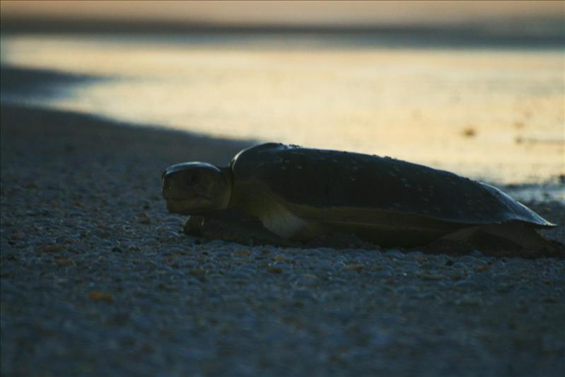 One of the Turtles we saw coming ashore at 80 mile beach, to lay thier eggs.