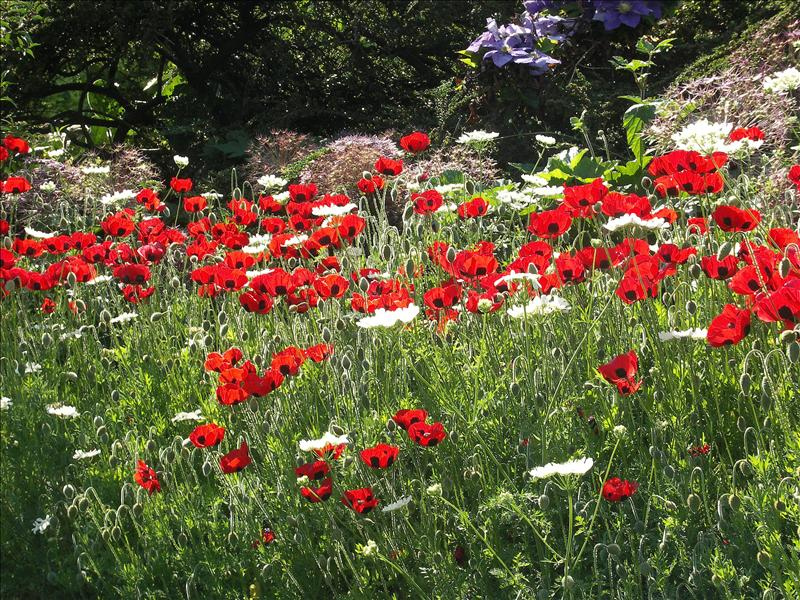 Box Poppies