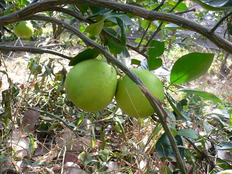 大的像柚子的葡萄柚