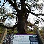 Lucombe oak