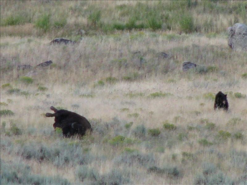 dode buffel, waar we een tijdje hebben gewacht om  te zien wat er kwam. tijdens het wachten was er een wolf langsgeweest, maar wel heel snel..