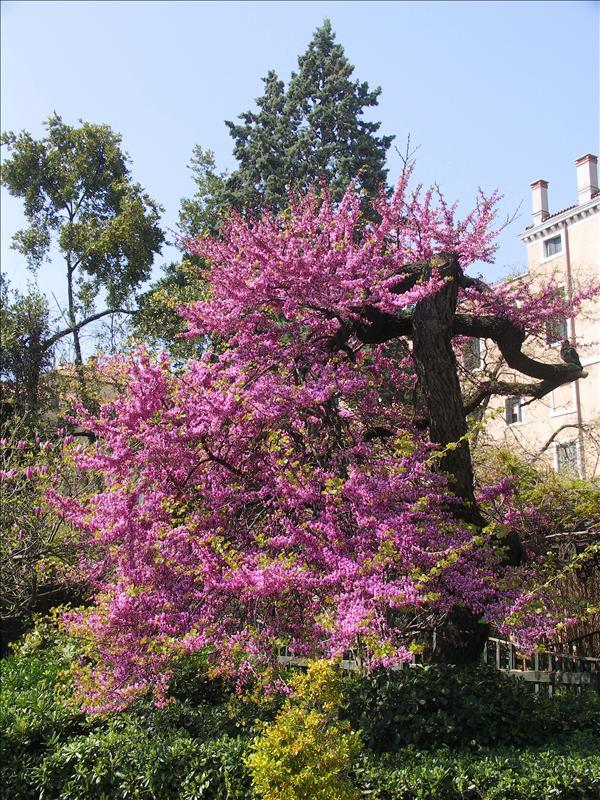 Judas Tree