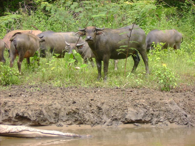 Water Buffalo, Pai River