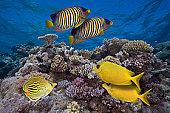 Tropical Fish at the Great Barrier Reef CREDIT TO:Jeff Hunter