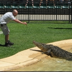 Feeding crocs at Australia Zoo