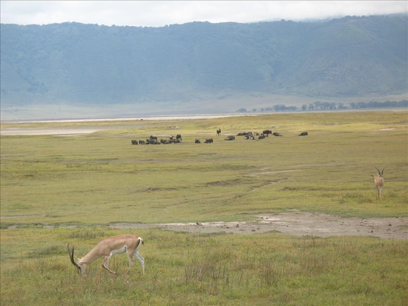gazelle•wildebeest•Ngorongoro