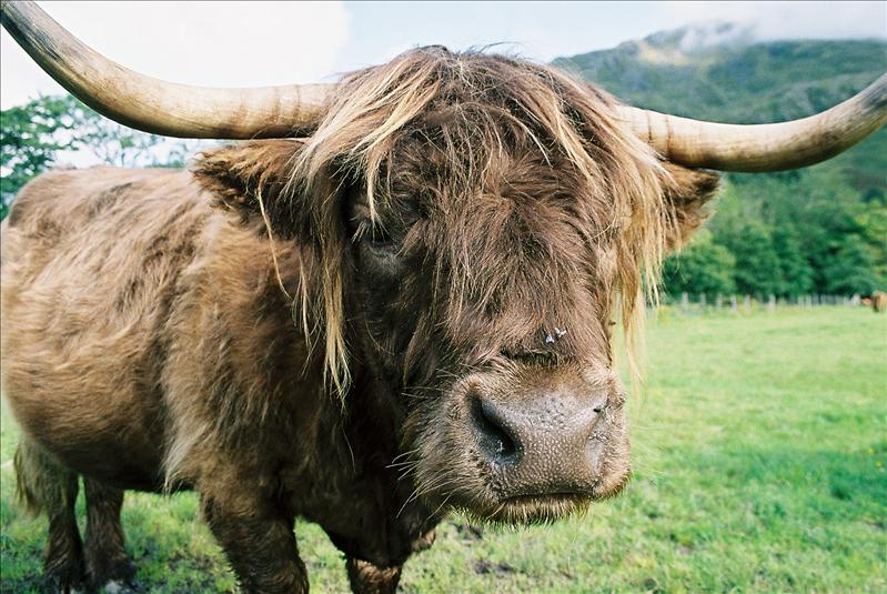 Got to have a hairy coo photo's...