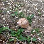 這輩子看過最大的蝸牛