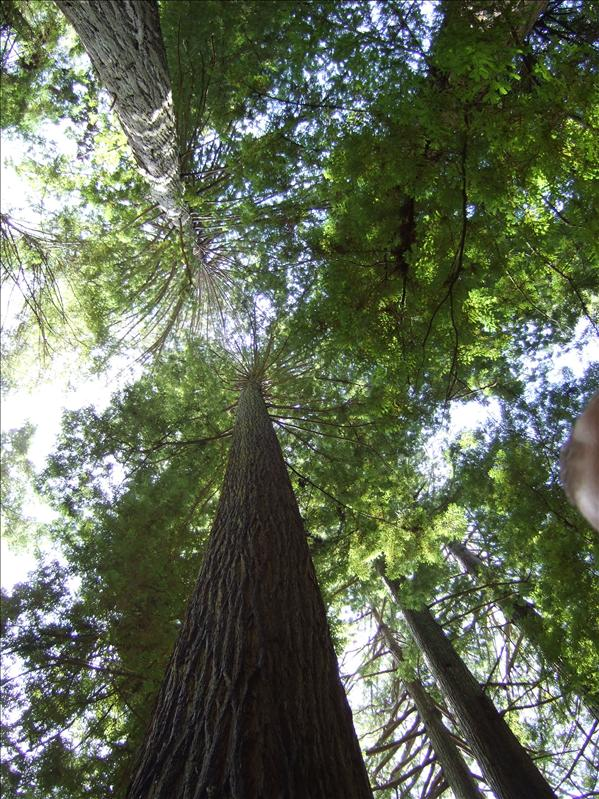 Tall Trees Grove, Redwood National Park