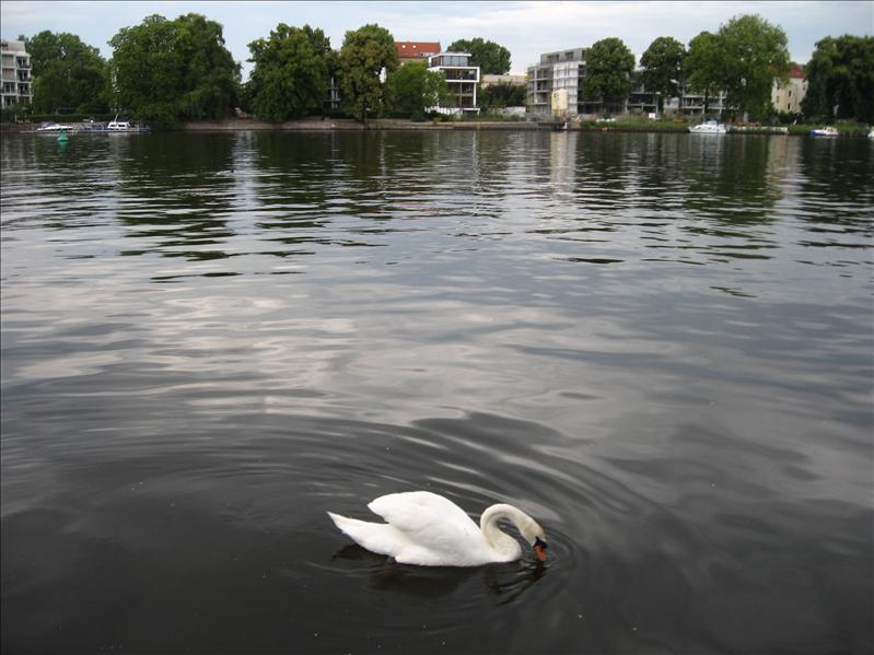 Swans on the Spree