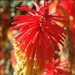 澳大利亚、花