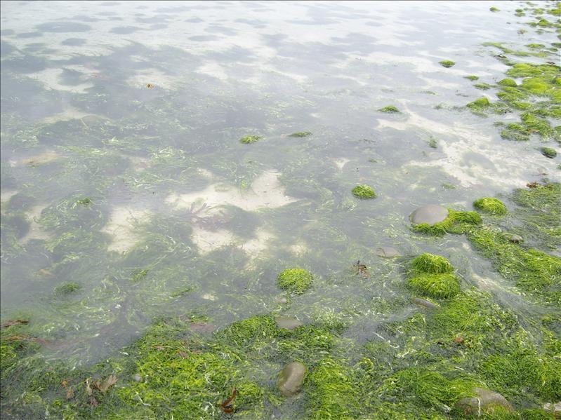 Sea weed...Galway bay