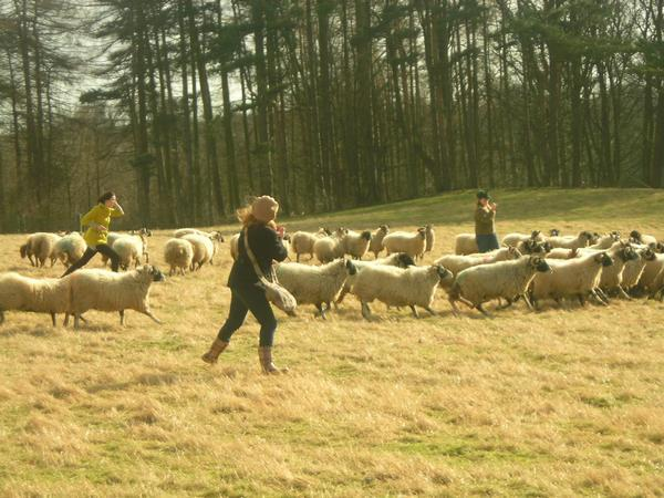 herding sheep....LOL