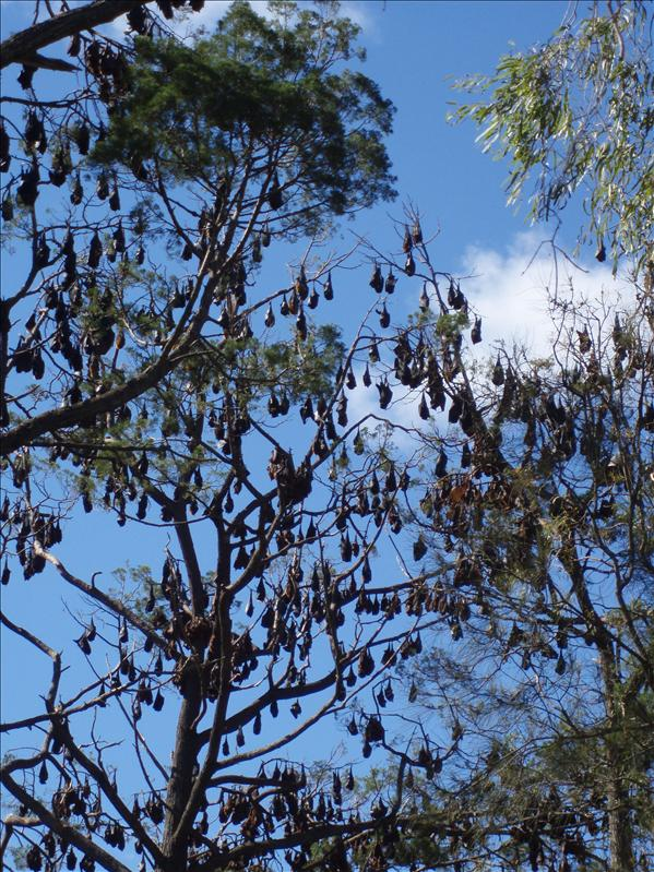 Bats, Hervey Bay