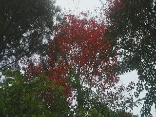 梢來山賞楓2.AVI