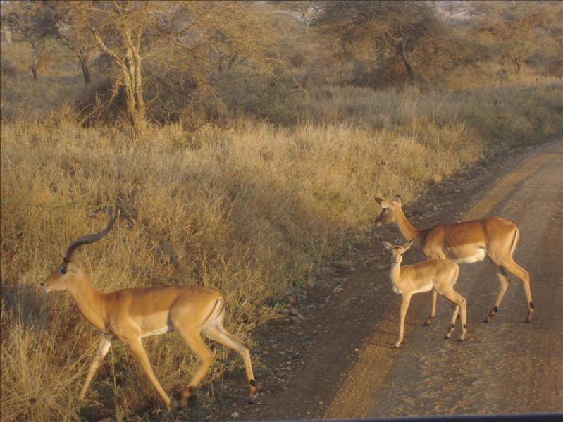 Impala, Serengeti