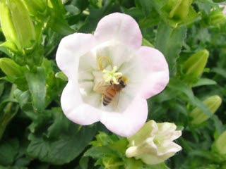 蜜蜂採花.MOV