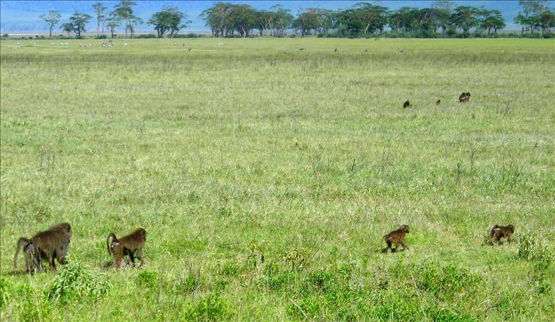 baboons•Ngorongoro