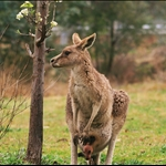 One of the Kangaroo