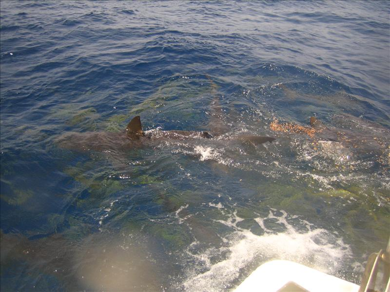 Shark feast on one of the snorkelers.