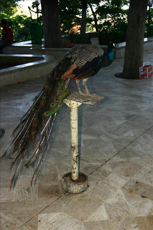 a peacock!
