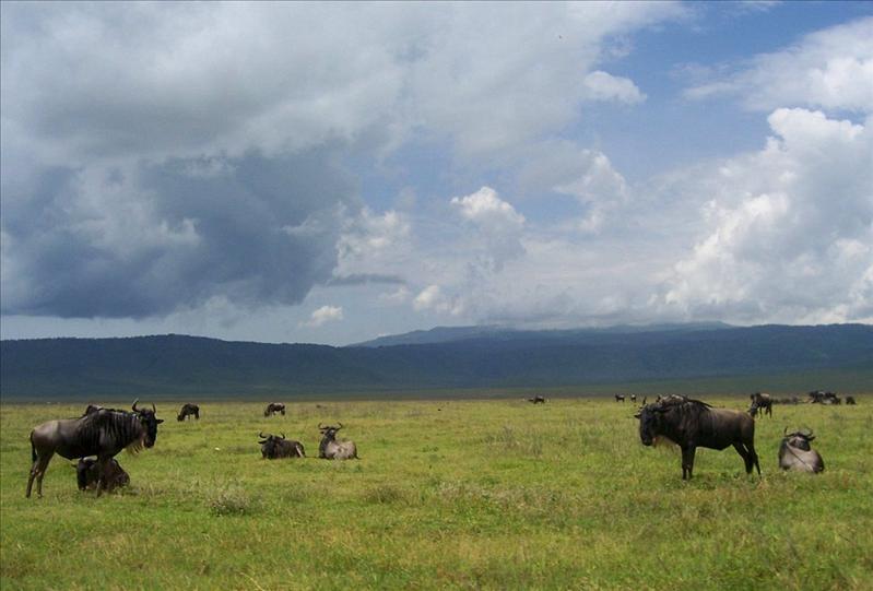 wildebeest•Ngorongoro