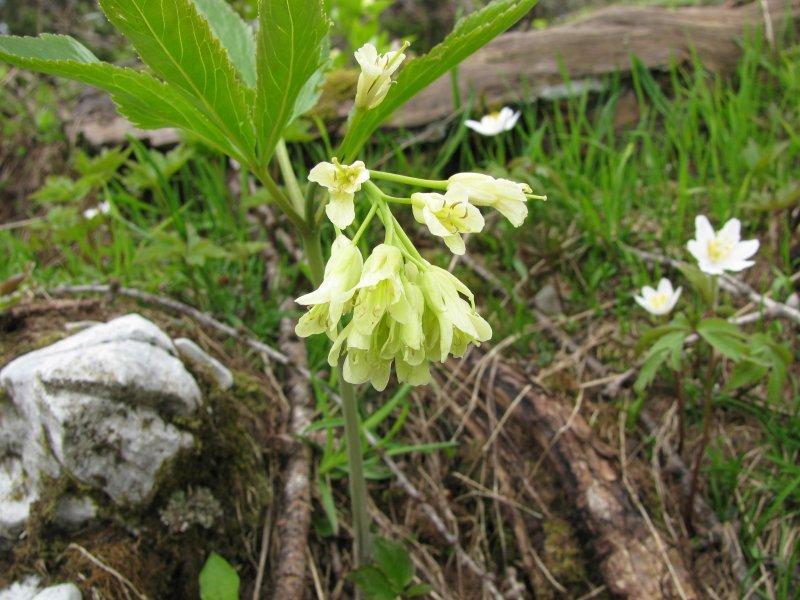 .... the Alpine flowers ....